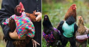 Women Knit Mini Sweaters Ex-Battery Hens