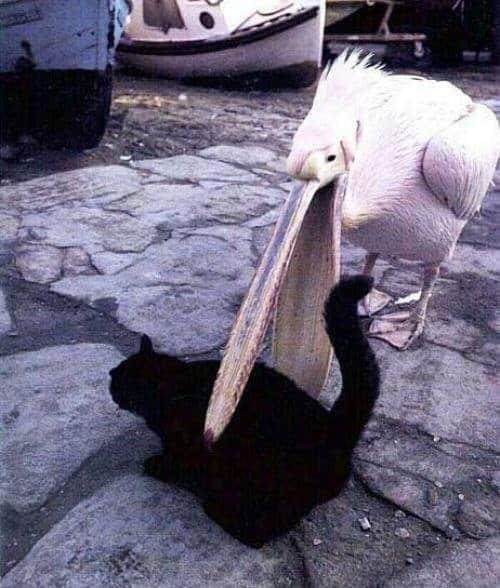 animal-jerks-pelican