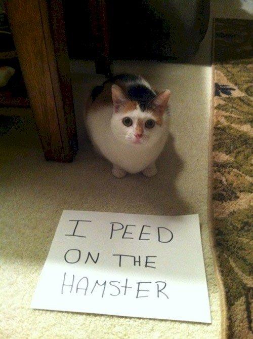 cat peed hamster