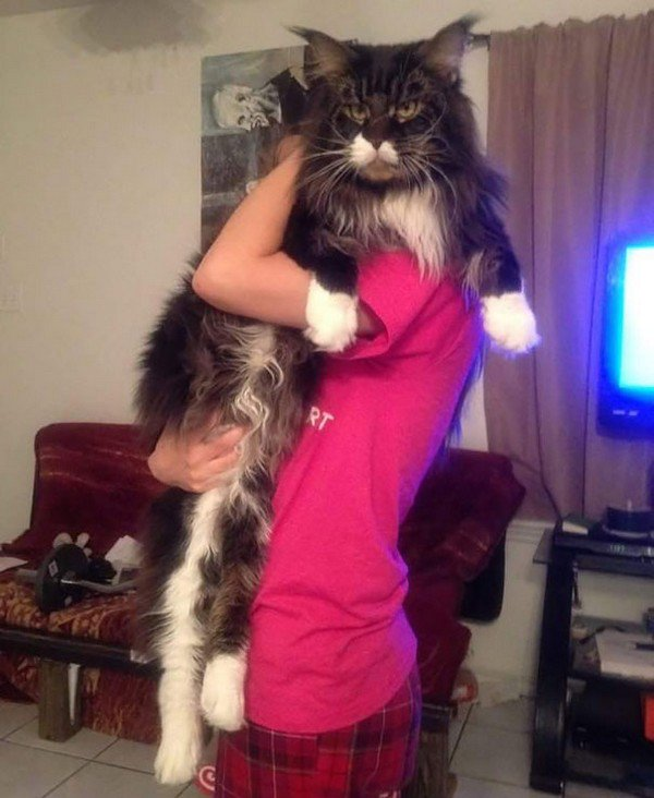 dark maine coon cat