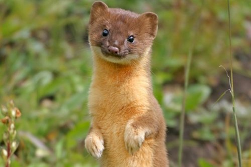 disturbing-middle-ages-weasels