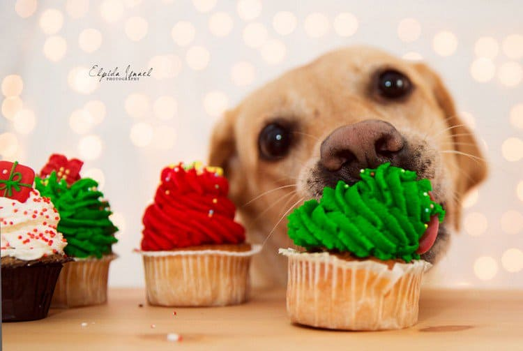 dog eating cupcakes
