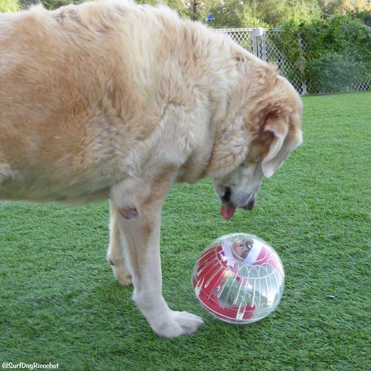 dog elf ball