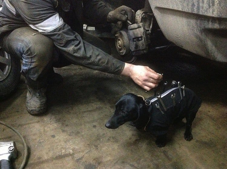 Adorable Dog Helps Men Repairing Cars Wearing Mini Tool Belt