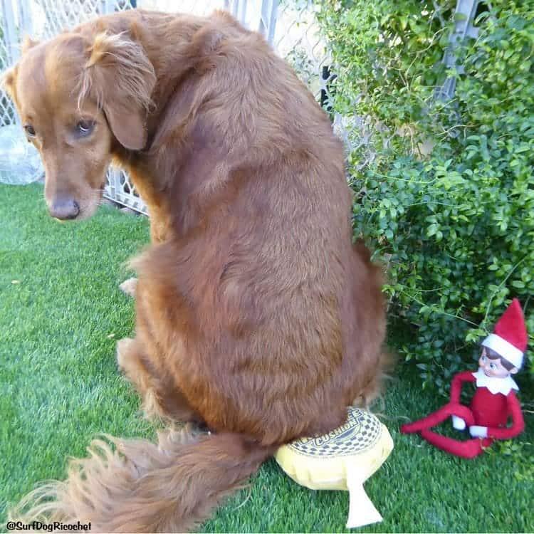 dog whoopee cushion elf