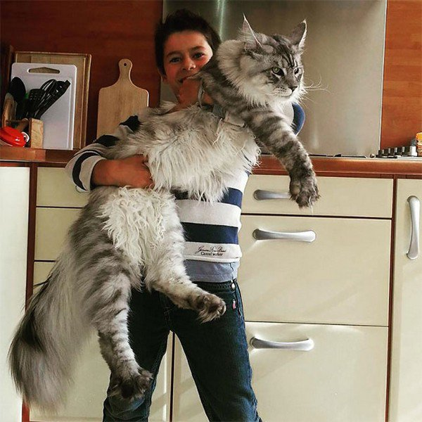 giant gray cat and person