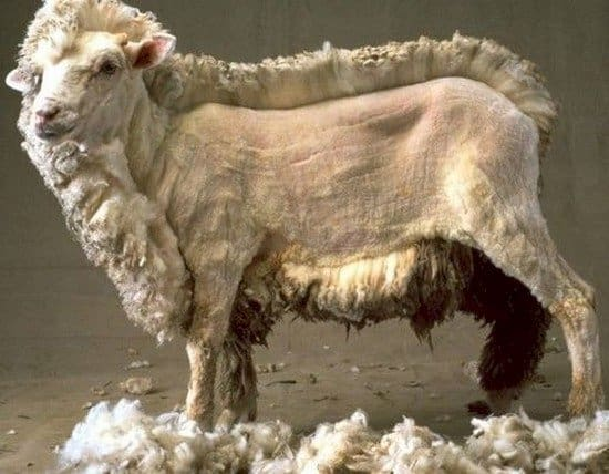 half shorn sheep