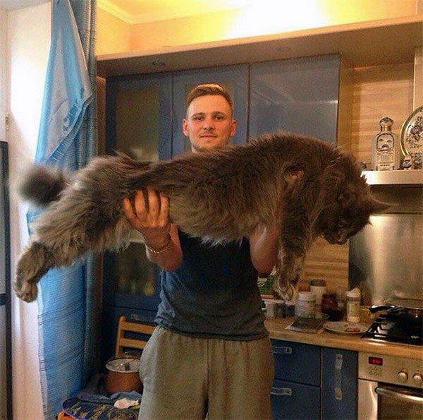 huge cat with man