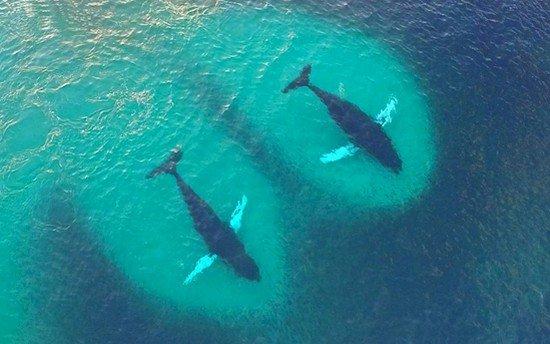 humpback whales herring