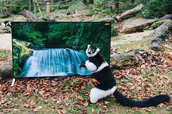 lemur tv camera