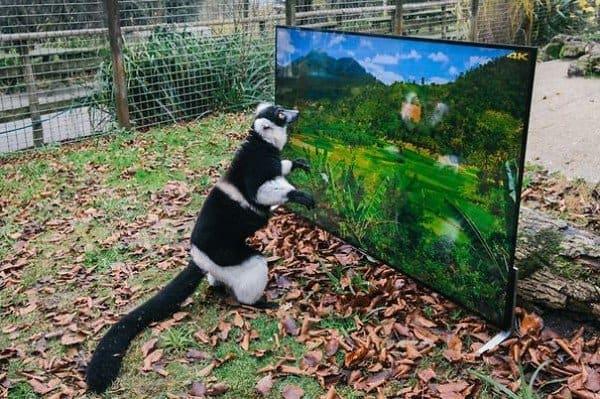lemur tv