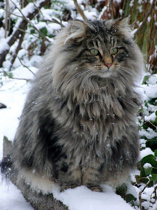 maine coon cat snow