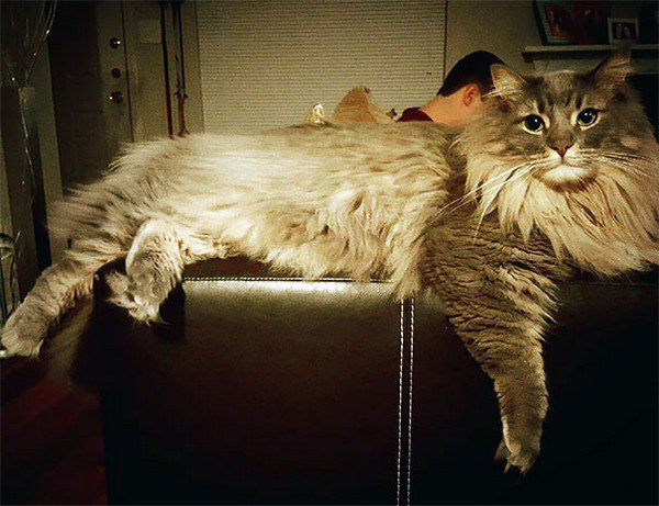maine coon stretched out