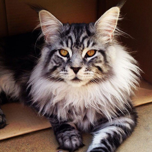 maine coon striped cat