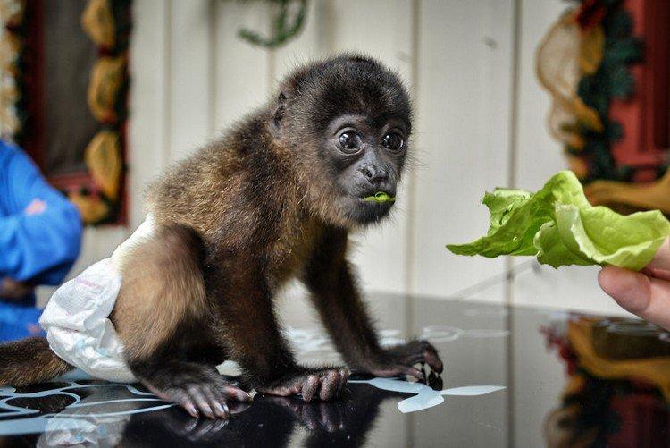 monkey lettuce