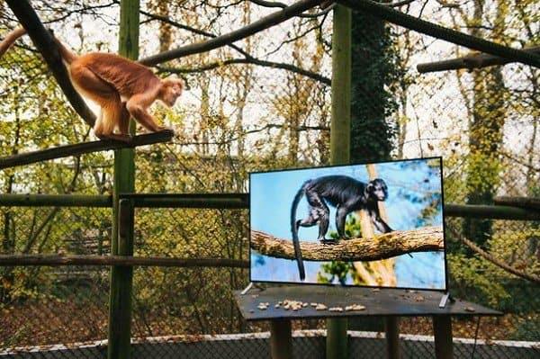 monkey watching monkey tv
