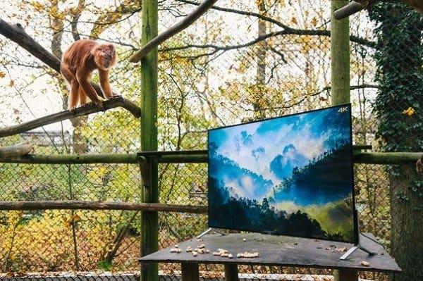monkey watching tv