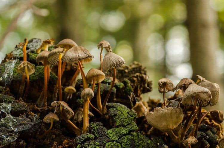 mushroom-army