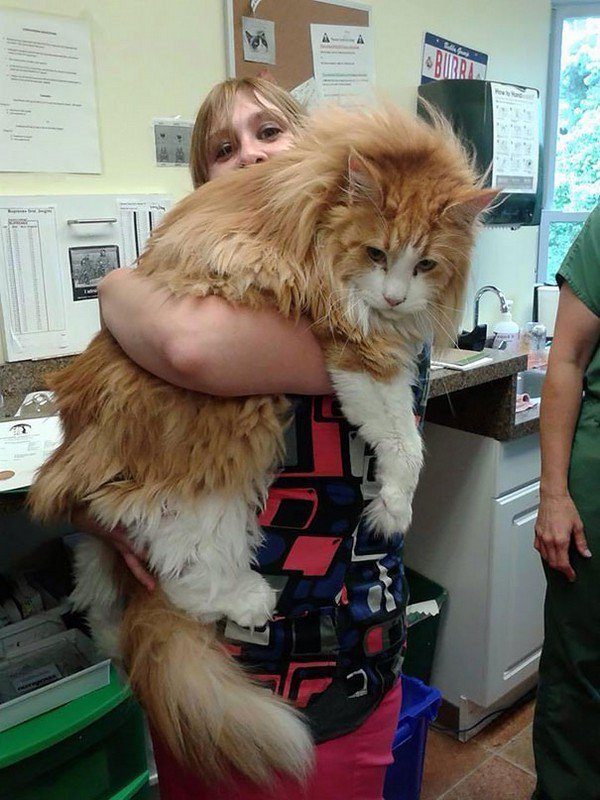 orange maine coon cat woman