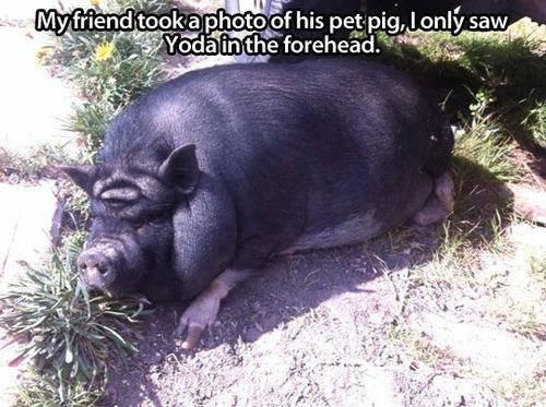 pig yoda