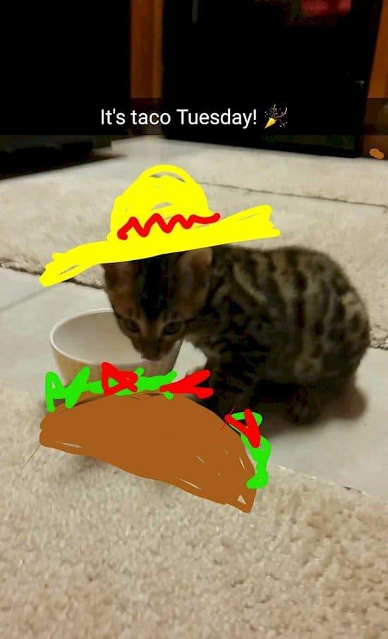 taco tuesday kitten