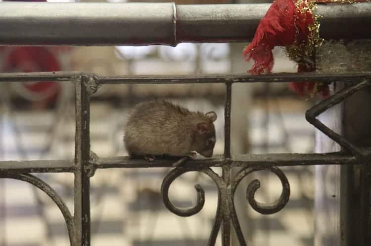 temple-rat-bars
