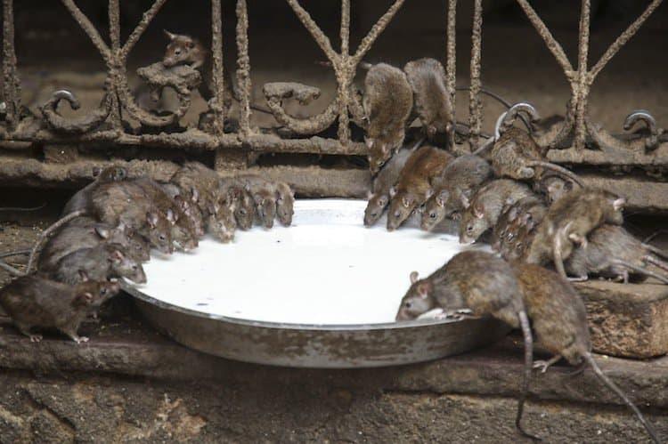 temple-rat-bowl