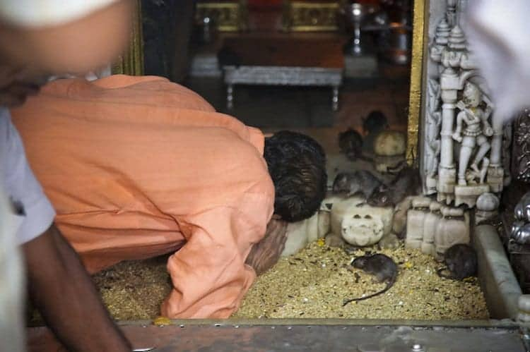 temple-rat-everywher