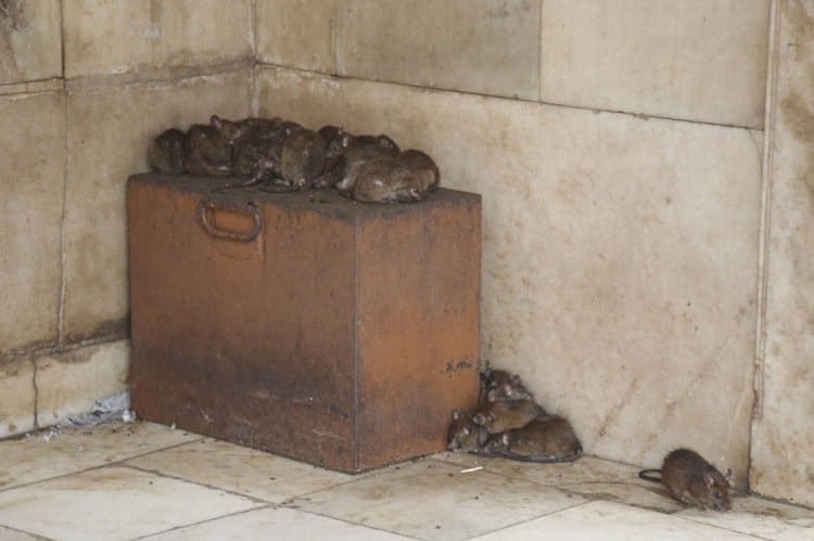 temple-rat-rat