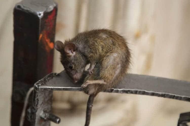 temple-rat-rats