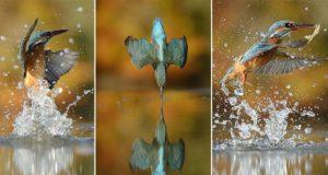 Alan McFadyen Kingfisher Bird Shot