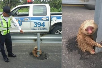 Cop Rescued Sloth From Highway