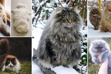 Fluffiest Cats Ever Seen