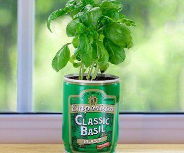 Grow Your Own Basil Plant
