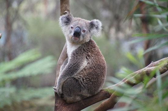 Koalas Chlamydia