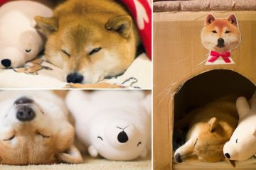 Maru Shiba Inu Falling Asleep Stuffed Toy