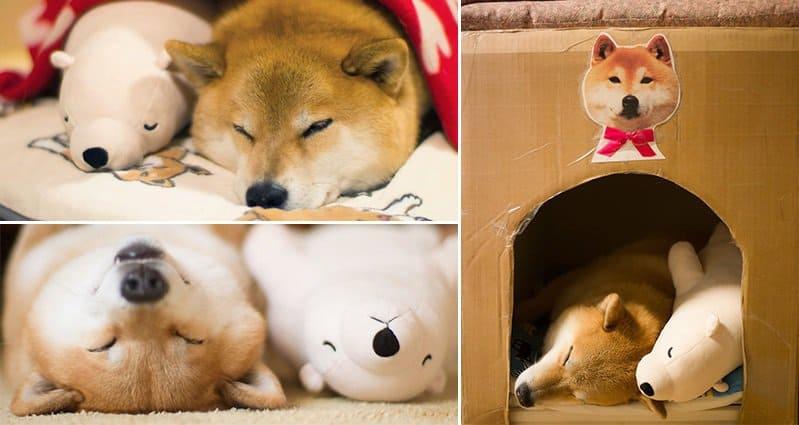 This Adorable Shiba Inu Dog Keeps Falling Asleep In The