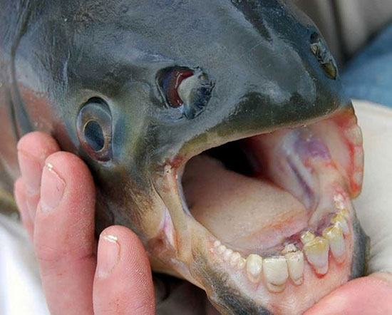 Pacu fish teeth