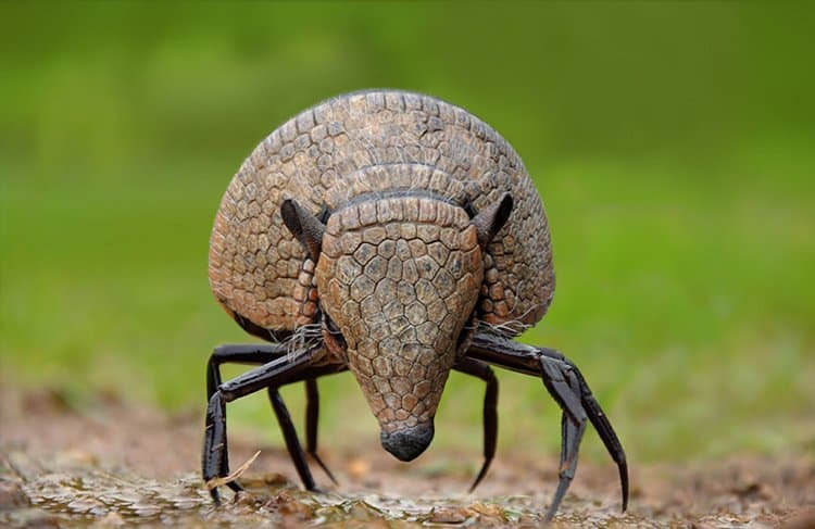 animal-hybrids-crabadillo