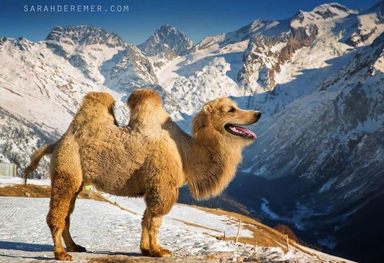 animal-hybrids-golden-camel