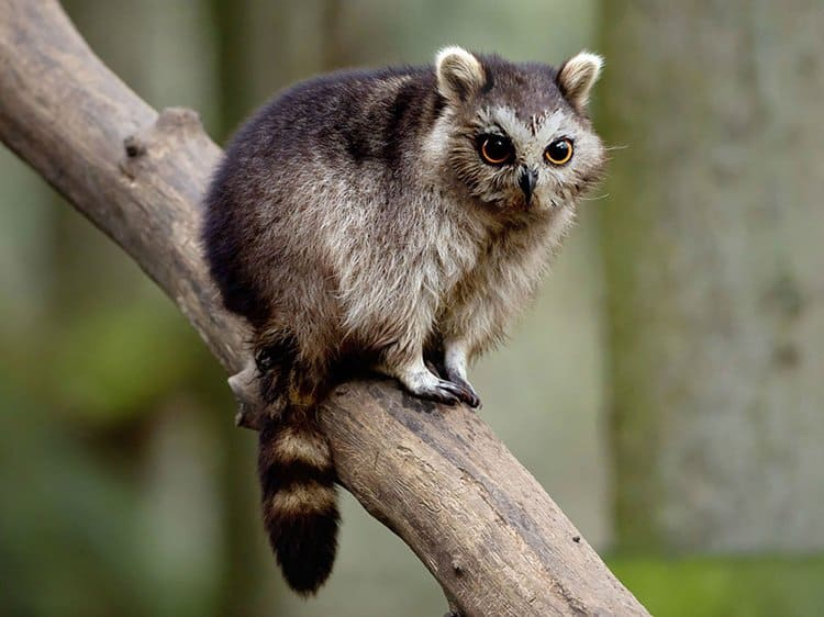 animal-hybrids-racowl