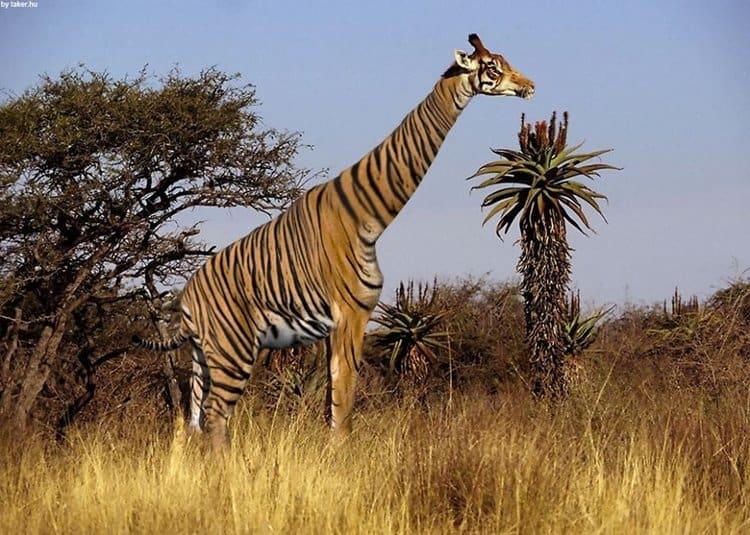 `animal-hybrids-tigraffe