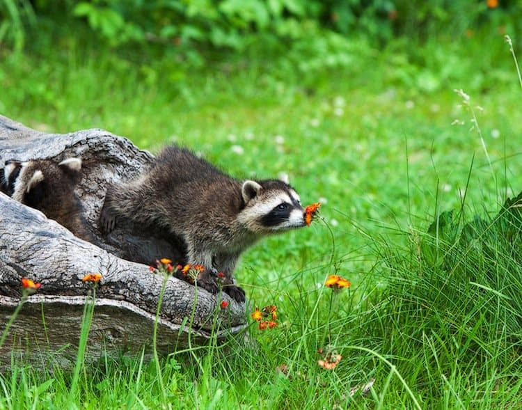 animals-racoon
