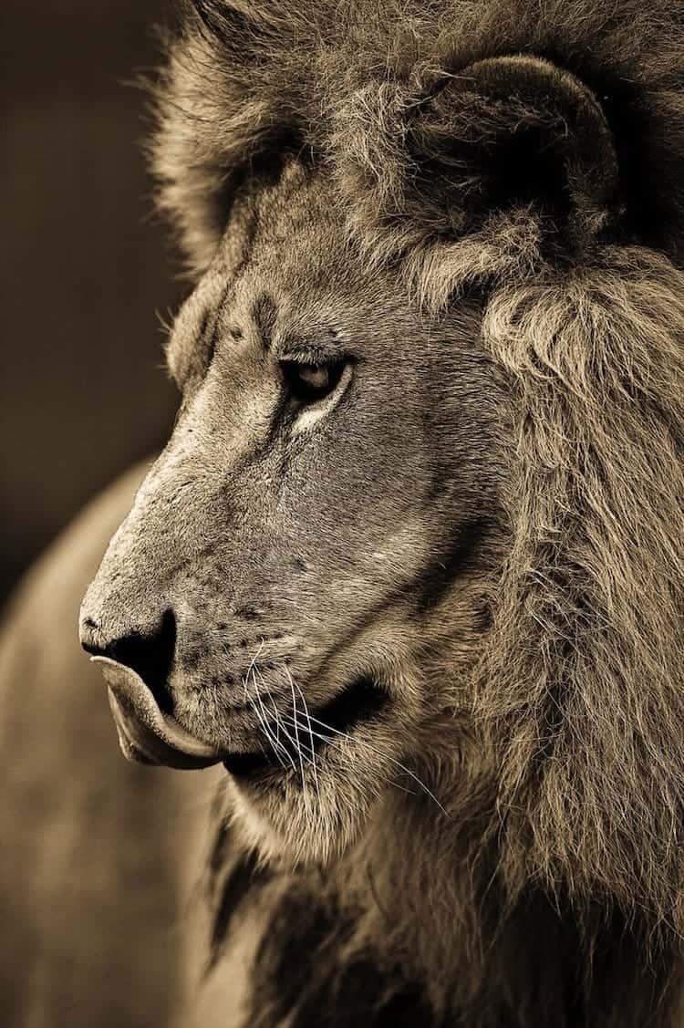 cat-male-lion