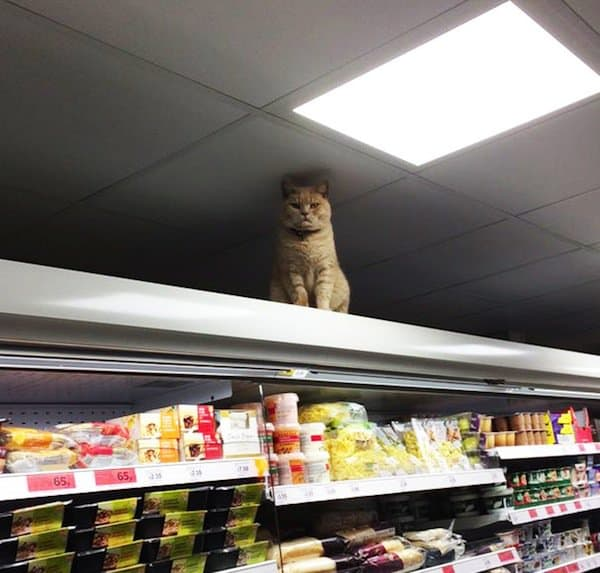 cat-shopping