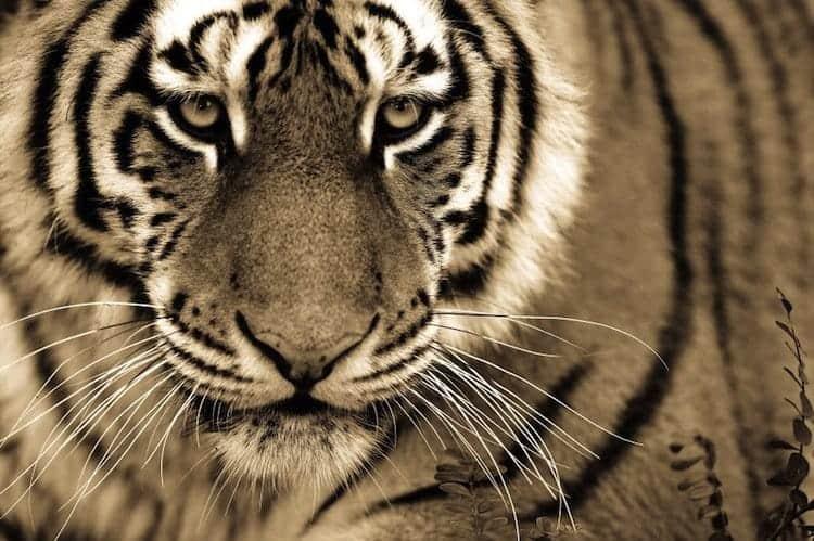 cat-tiger