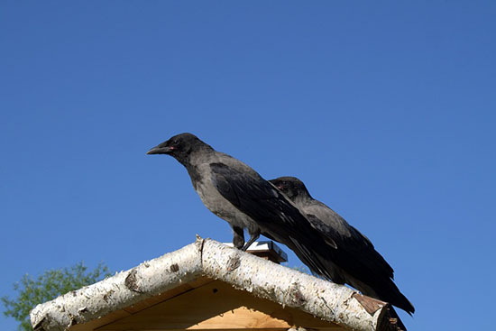 crows intelligent