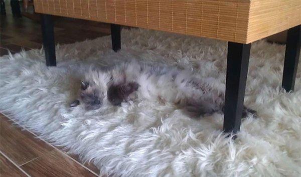 fluffy-cats-camo