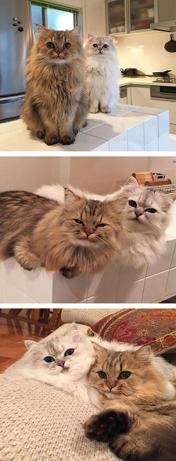 fluffy-cats-duo