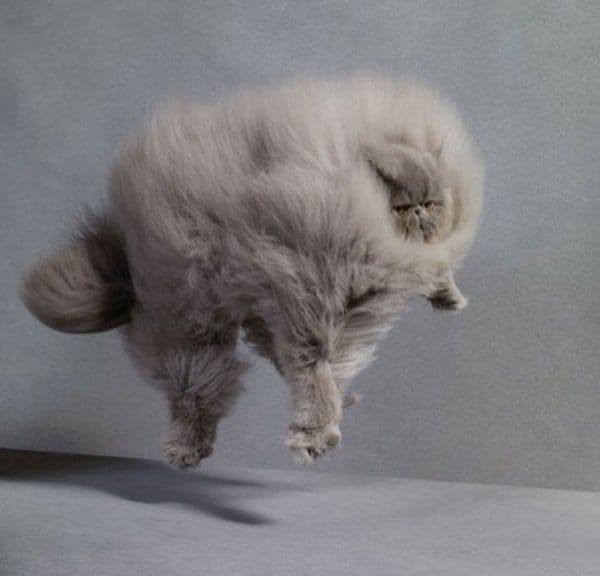 fluffy-cats-leap